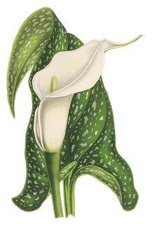 Calla, Flower, Plant, Blossom