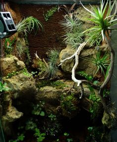 Custom Tropical Habitat With Zoo Med S Cork Background Moss And Mopani Wood