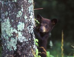 Their cuteness factor is off the charts! You'll likely spot black bear cubs during a trek through the Smokies.