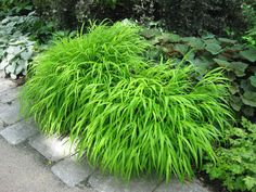One of my most favorite plants - Hakenochloa!  Great in shade gardens, drought tolerant, deer resistant and adds a bright spot in the garden.  A must for shade gardens.                                                                                                                                                                                 More