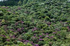 Atlantic rain forest