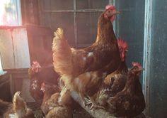 Kirjavat kanat ja kukko.