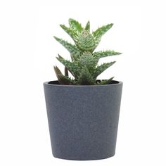 Aloe juvenna en la maceta Cylinder gris mate de barro; precio orientativo 8€, $9.87