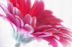 Gerbera by Anne McKinnell - watch out for wind, move in closer, perhaps bring the flower inside to control the light and wind