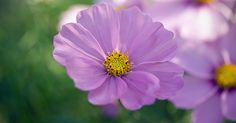 Lovely! Thank you! RT  ‏Ivan   #Cosmos Bipinnatus   #flowers #nature #photography  #flower #gardening