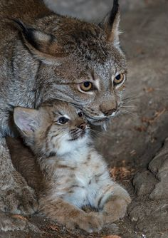 Little Lynx cub debuts at Biodome Montreal. More photos and adorable video herehttp://bit.ly/PIH9CO