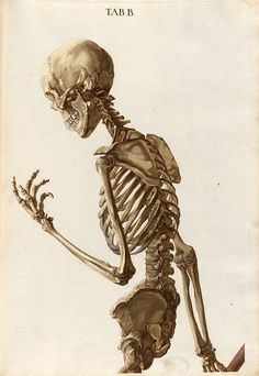 Drawing Anatomy Reference Plate B upper half from Christoph Jacob Trew's Tabulae osteologicae Skeleton Drawings, Human Skeleton, Skeleton Art, Art Drawings, Female Skeleton, Skeleton Flower, Skeleton Makeup, Human Anatomy Drawing, Human Figure Drawing