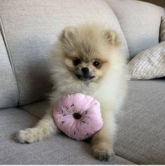 All you need is L💗VE & D🍩NUTS @worldofxaviunique #pomeranian #donuts #donut #pomeraniansofinstagram #pomeranianpuppy #puppy #love #loveyou #pomeriaan #pets #pet #dog #dogs #animal #beauty #beautiful #baby #babyboy #realpomeranian #fluffy #paws #dog #dogs #puppylife #auttum #doglovers #cute #photooftheday #instagood #instadaily #follow #happy #fun #netherlands #holland #background #realpomeranian #winter #summer #auttum #spring #dwergkees #dwergkeesje #boy #inlove