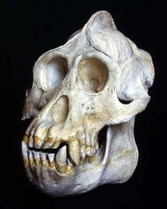 Gorilla skull www.zivilisationen.de