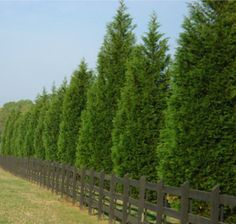 Privacy Trees: 4 Top Picks for the Season leyland-cypress Garden Shrubs, Garden Trees, Shade Garden, Fence Trees, Privacy Plants, Privacy Landscaping, Acreage Landscaping, Backyard Privacy Trees, Landscaping Ideas