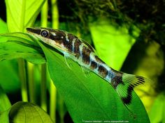 Otocinclus cocama - absolutely gorgeous, really rare and hard to keep because it's usually only wild-caught.