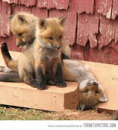 Funny pictures about Baby foxes cuteness overload. Oh, and cool pics about Baby foxes cuteness overload. Also, Baby foxes cuteness overload. Cute Baby Animals, Animals And Pets, Funny Animals, Wild Animals, Funny Foxes, Funny Pets, Strange Animals, Fun Funny, Funny Humor