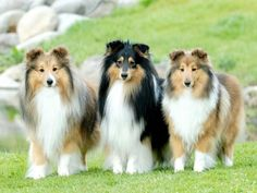 lyra 2 awkward fluffy shelties //; matthias 2 pretty collie males + 1 tough attractive light breed my favorite for him