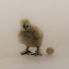 泰和乌骨鸡 by Nikolay0065 #animals #animal #pet #pets #animales #animallovers #photooftheday #amazing #picoftheday