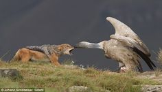 Pecking order: Jackal is nipped on the nose after trying to snatch hungry vulture's scrap of meat