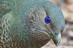 Satin bowerbird is found in eastern Australia. What beautiful blue eyes.