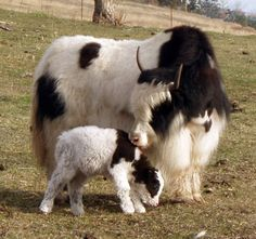 oh yeah, going to have a yak mom and baby