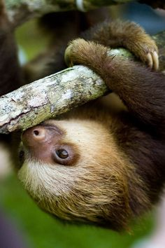 Wakey wakey. #Baby #sloth in Costa Rica. / Pinned by vacation planning experts www.4tulemar.com