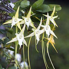 #Orchids - Starlike #epiphytes (Angraecum) with long curved spurs offer fantastic winter color   -   http://dennisharper.lnf.com/