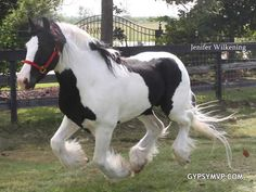 Gypsy Vanner Horses for Sale | Stallion | Piebald | Sky