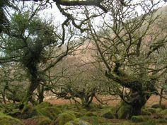 Wild Oaks on Dartmoor
