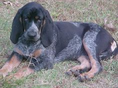 bluetick coonhound Puppies at Bluetick 1 kennels, blueticks, bluetick1kennels.com