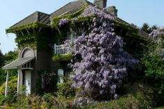 There used to be an abandoned house with Wisteria like this near where I live. They tore the house down and took the glorious Wisteria with it. Made me so sad.