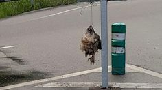 SHOCKING: Head of decapitated wolf left hanging from road sign in Spain