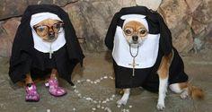 Los perros chihuahuas nacieron para usar disfraces. Su tamaño y su complexión los hacen perfectos, pues lucen bien contodo, y si no me crees, estas fotos te dejarán sin duda alguna. Son los reyes del Halloween.