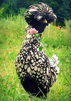 It's beautiful, but what type of bird is it? It's amazing!  Thanks to Anne-Marie...it's a Silver Laced Polish Hen.♥