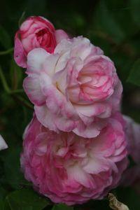 morning blush rose