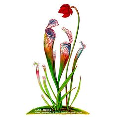 Watercolor illustration of the carnivorous pitcher plant. Indigenous in the coastal areas of the United States, the plant traps insects in a pitcher-shaped stalk. Vintage Blume Tattoo, Vintage Flower Tattoo, Vintage Flowers, Plant Illustration, Botanical Illustration, Watercolor Illustration, Plant Painting, Plant Drawing, Carnivorous Pitcher Plant