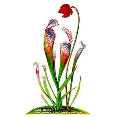 Pitcher Plant Plant Illustration, Botanical Illustration, Watercolor Illustration, Plant Painting, Plant Drawing, Vintage Flower Tattoo, Vintage Flowers, Plant Tattoo, Pitcher Plant