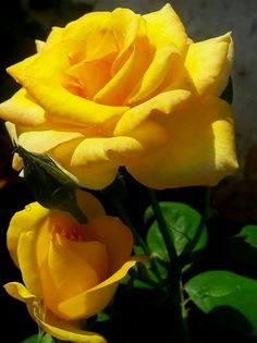 Yellow roses remind me if my friend Donna  #RoseGarden