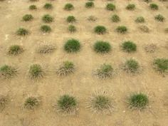 Recycled water, salt-tolerant grass a water-saving pair Breeders select for trait to conserve drinkable water
