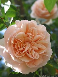 """'Sweet Juliet', 2.5"""", strong citrus scent similar to lychee. lovely petal formation. disease resistant"""