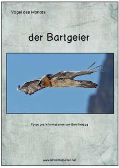 Der Bartgeier (bearded vulture)