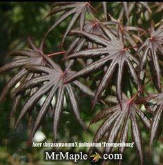 9 Best Japanese Maples Images Acer Palmatum Japanese Maple