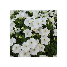 Petunia Limra White Culture, Nice Flower, Green Houses, Plant, Flowers