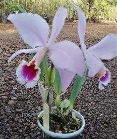 Orquídea Cattleya Percivaliana Orocochano Semi Alba - Adulta - Espécie - Jardim Exótico - O maior portal de mudas do Brasil.