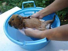 Купание морской свинки в тазике