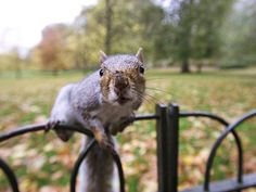 Grey Squirrel! This links to humorous article that some people may find offensive - includes bad language, and bad taste!