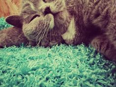 Catlove X 2018 and back 😍😻🐨🍾#catsandcolours #cutenessoverload #photooftheday #roomie #kitties #klavertje4 #bestmommy #animo #instagramcats #cats #petstagram #animals #meow #britishshorthair #cats_of_world #catsofinstagram #adorable #catsagram #petsagram #instacat #sleeping #kittens #soft #catstagram #pets #furry #kitty #lovekittens #catoftheday #lovecats #instagood