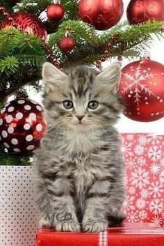 Pick: Cute Christmas Kitten Of The Day Merry Christmas, Christmas Kitten, Christmas Clipart, Christmas Animals, Cute Cats And Dogs, Cats And Kittens, Cute Funny Animals, Funny Cats, Animal Pick