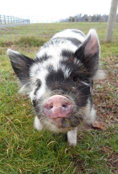 Ginger, the Kunekune pig