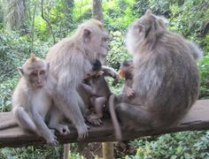 A monkey familiy from Bali, who joined our Fan Club this spring.