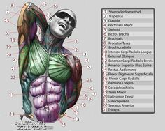 Anatomy For Sculptors via PinCG.com