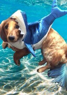 Peanut has the shark costume