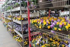 Pansy Freefall baskets being shipped from Metrolina. Gorgeous!