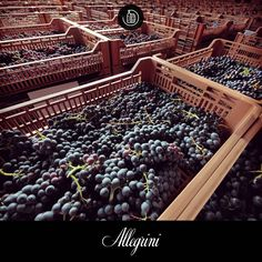 The intoxicating scent of drying grapes permeates the air of the drying center in Fumane Italy. These grapes are destined to become Amarone or Recioto wine.